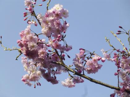 桜_11.JPG