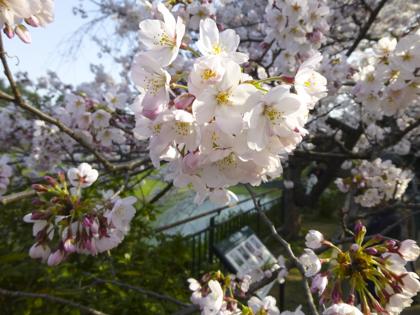 桜_14.JPG