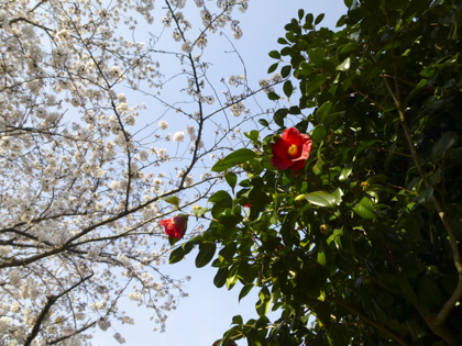 桜_17.JPG