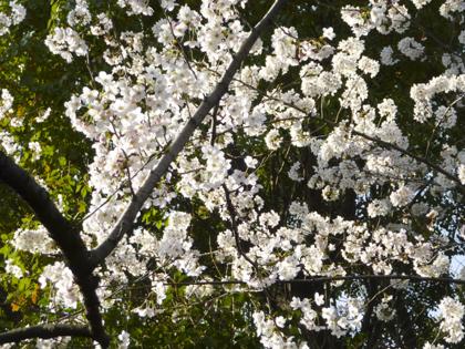 桜_18.JPG