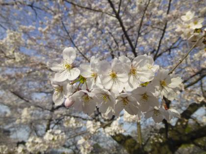 桜_23.JPG