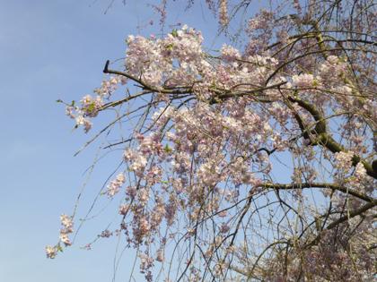 桜_30.JPG