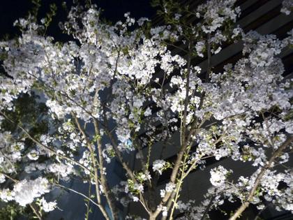 桜_33.JPG
