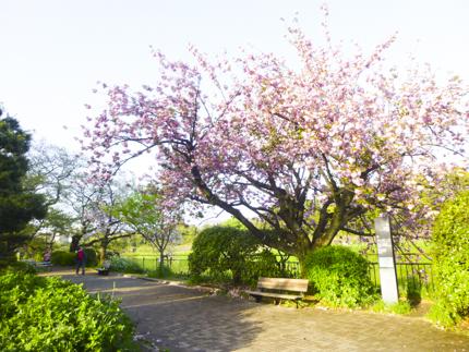 八重桜_1.JPG