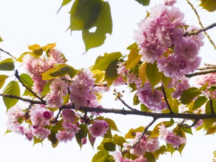 八重桜_3.JPG