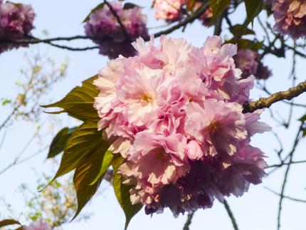 八重桜_4.JPG
