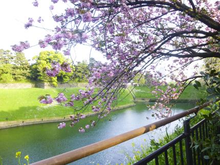 八重桜_5.JPG