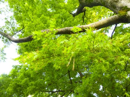 八重桜_21.JPG