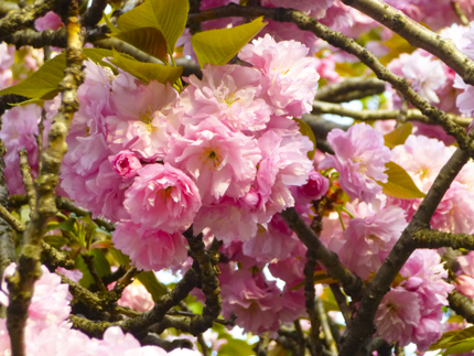 八重桜_28.JPG