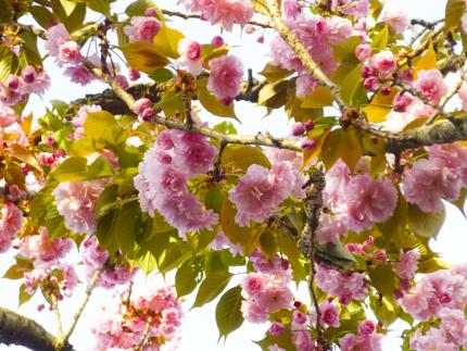 八重桜_30.JPG
