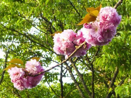 八重桜_32.JPG