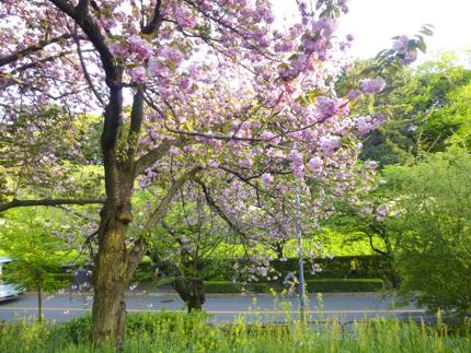 八重桜_34.JPG