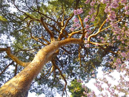 八重桜_35.JPG