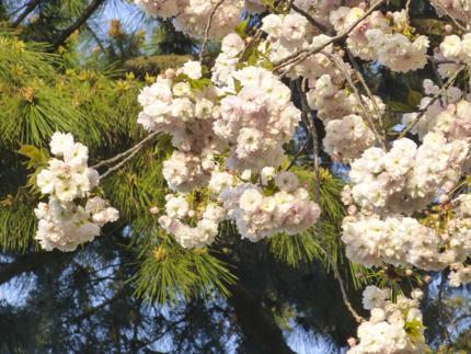 八重桜_37.JPG