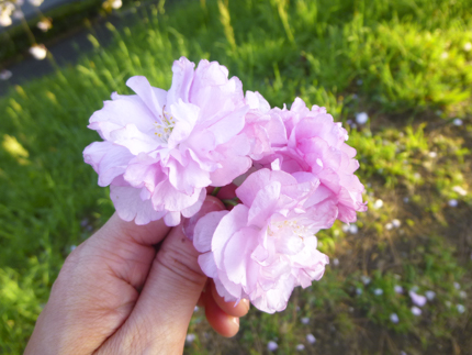 八重桜_39.JPG
