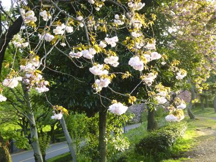 八重桜_41.JPG