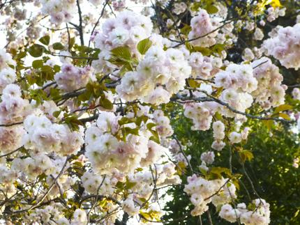 八重桜_42.JPG
