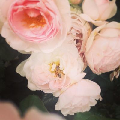 バラ ミツバチ 花