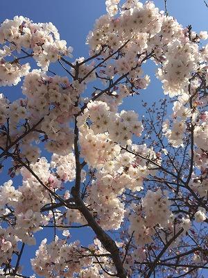 桜 満開 静岡 清水 船越公園