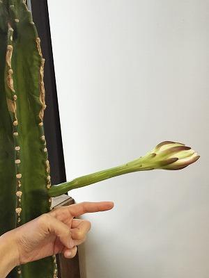サボテンの花 サボテン 日記 多肉植物