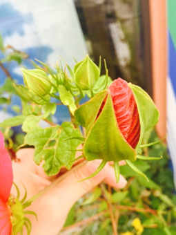 花のつぼみ 自由研究 花の観察
