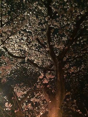 桜 夜桜見物 静岡県