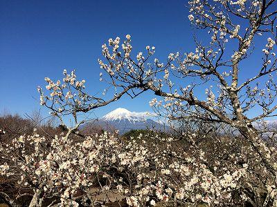 岩本山 富士山 梅 富士 静岡 花 撮影スポット