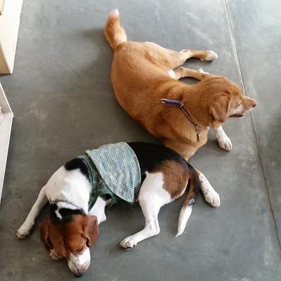 犬 ペット 看板犬 オリビア ティグ ビーグル