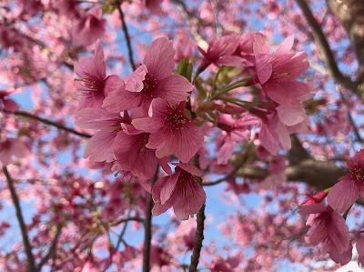 伊豆 観光地 静岡 レジャー グランパル公園 桜