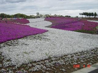 100万本の芝桜 群馬県太田市 北部運動公園 01