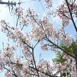尾道城に上がる道、桜