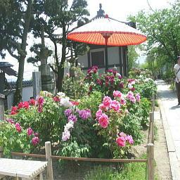 天寧寺の牡丹