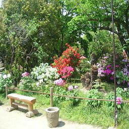 天寧寺の牡丹2
