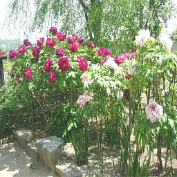 天寧寺の牡丹3