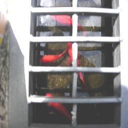 溝の中の金魚