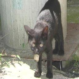 子猫(くろねこ)