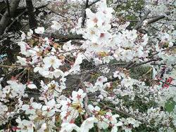 桜花見で公衆無線LAN
