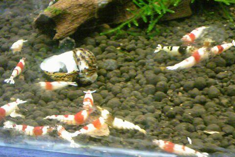 新潟市西区鳥原の熱帯魚ショップ 「aqua heart(アクアハート)」のエビちゃん