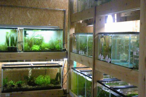 新潟市西区鳥原の熱帯魚ショップ 「aqua heart(アクアハート)」熱帯魚コーナー