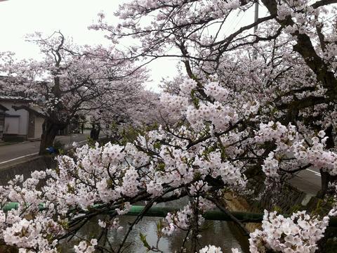 長岡 柿川 桜