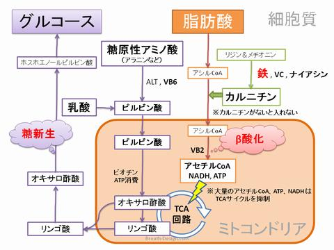 糖新生 鉄 カルニチン 肝臓 脂肪酸 β酸化