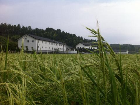 亀の尾 酒米 日本の原風景 Japanese scene