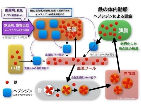 鉄 代謝 動態 ヘプシジン