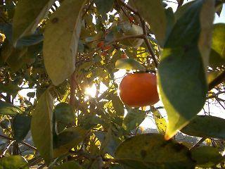 真っ赤な柿。