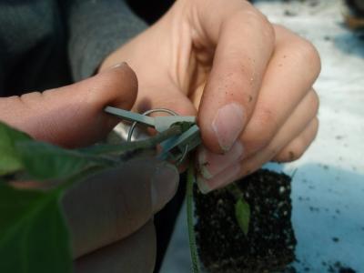 穂木が動かないように、接ぎ口にさしこみます。