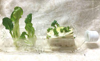 小松菜と白菜