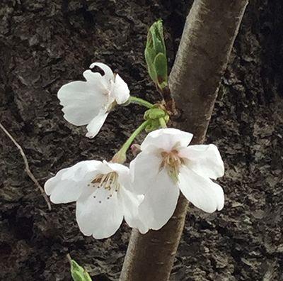 駅までの桜2