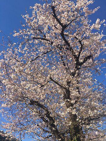 駅までの桜3