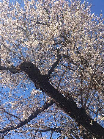 駅までの桜4