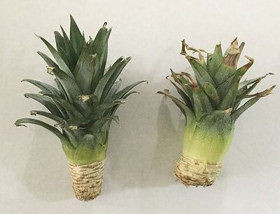 パイナップルのへた成長芯
